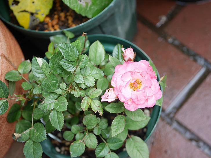 ラブリープリンセス・オプティマ(Lovely princess Optima)の2番花が咲いた。ミニバラ。2020年-003.jpg