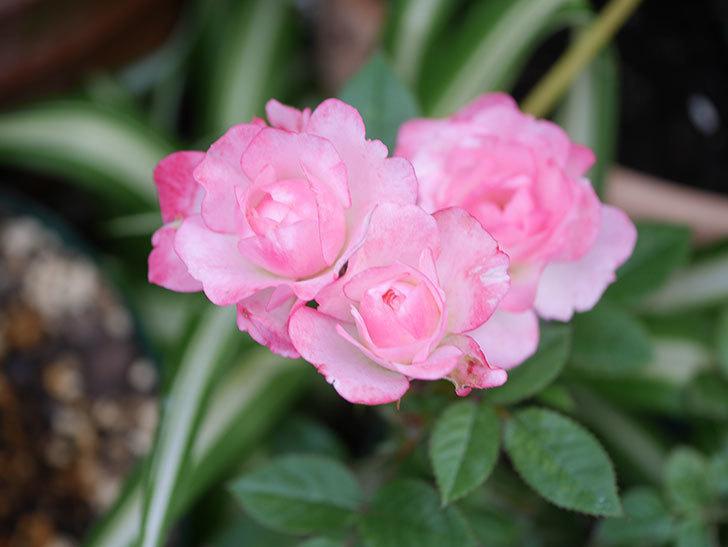 ラブリープリンセス・オプティマ(Lovely princess Optima)の2番花が咲いた。ミニバラ。2020年-005.jpg
