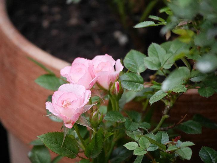 ラブリープリンセス・オプティマ(Lovely princess Optima)の2番花が咲いた。ミニバラ。2020年-006.jpg