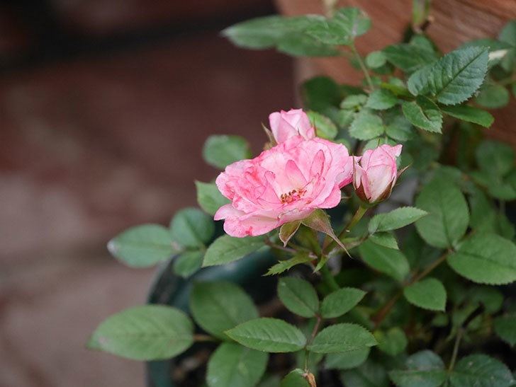 ラブリープリンセス・オプティマ(Lovely princess Optima)の2番花が咲いた。ミニバラ。2020年-007.jpg