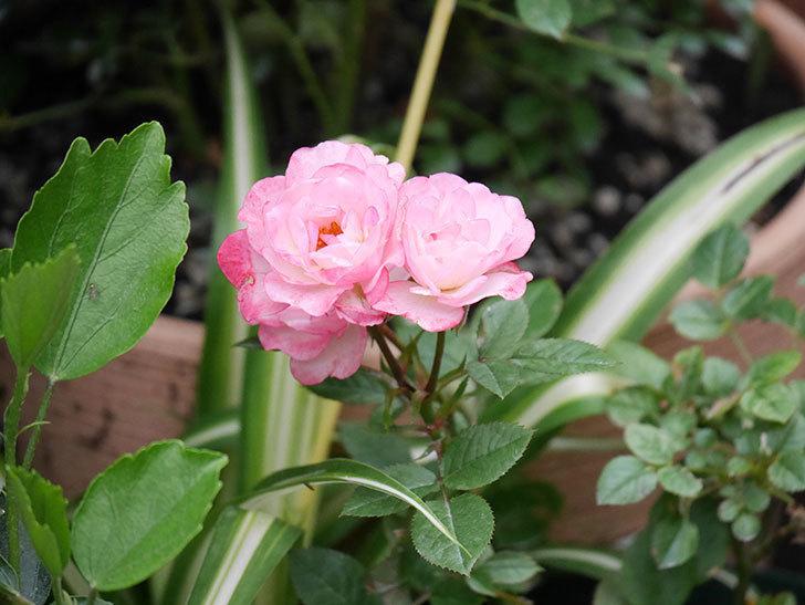 ラブリープリンセス・オプティマ(Lovely princess Optima)の2番花が咲いた。ミニバラ。2020年-011.jpg