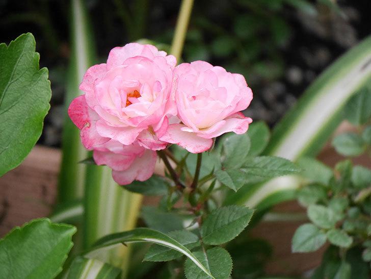 ラブリープリンセス・オプティマ(Lovely princess Optima)の2番花が咲いた。ミニバラ。2020年-012.jpg