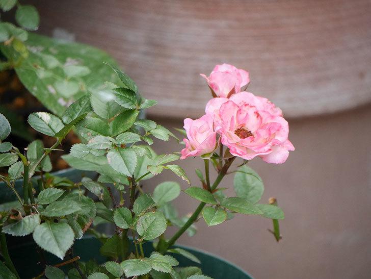 ラブリープリンセス・オプティマ(Lovely princess Optima)の2番花が咲いた。ミニバラ。2020年-013.jpg