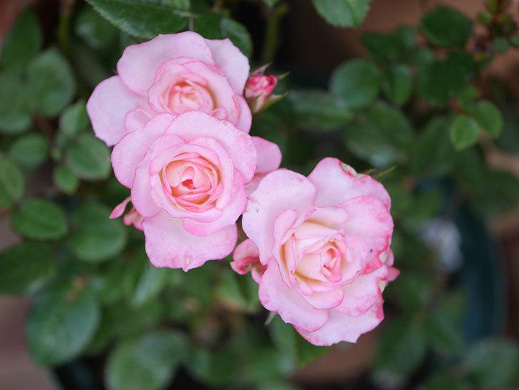 ラブリープリンセス・オプティマ(Lovely princess Optima)の2番花が咲いた。ミニバラ。2020年-014.jpg