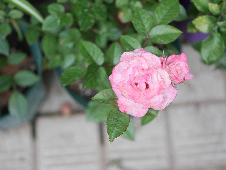ラブリープリンセス・オプティマ(Lovely princess Optima)の2番花が咲いた。ミニバラ。2020年-015.jpg