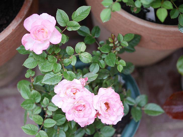ラブリープリンセス・オプティマ(Lovely princess Optima)の2番花が咲いた。ミニバラ。2020年-016.jpg