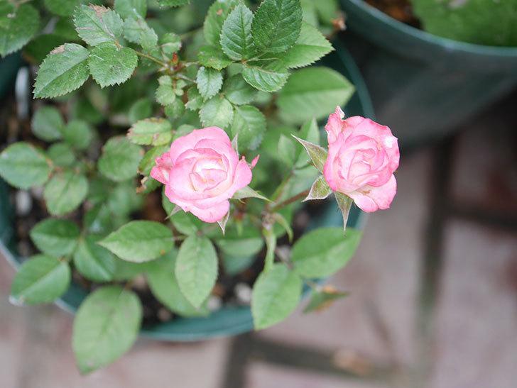 ラブリープリンセス・オプティマ(Lovely princess Optima)の2番花が咲いた。ミニバラ。2020年-017.jpg