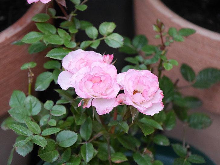 ラブリープリンセス・オプティマ(Lovely princess Optima)の2番花が咲いた。ミニバラ。2020年-019.jpg