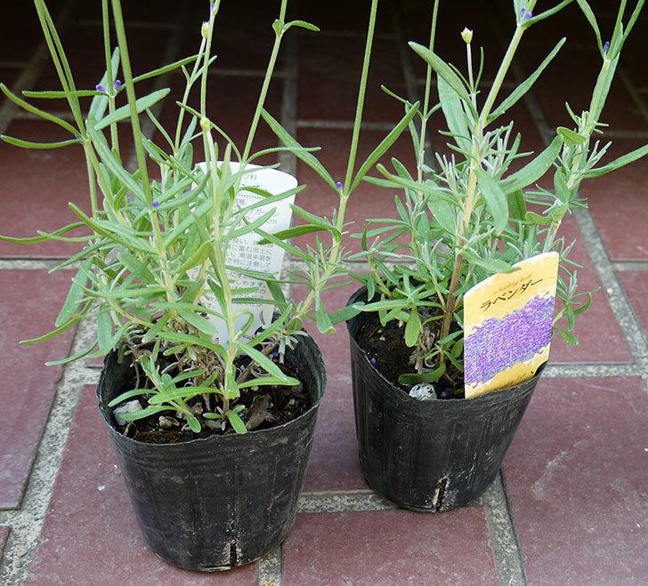 ラベンダーの苗を2個買って来た。2016年-2.jpg