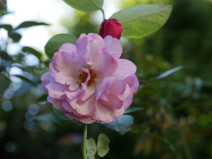ラベンダーブーケ(Lavender Bouquet)の新苗に秋花が咲いた。半ツルバラ。2020年-001.jpg