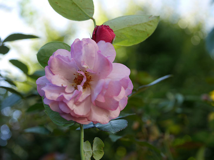 ラベンダーブーケ(Lavender Bouquet)の新苗に秋花が咲いた。半ツルバラ。2020年-002.jpg