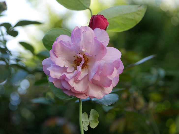 ラベンダーブーケ(Lavender Bouquet)の新苗に秋花が咲いた。半ツルバラ。2020年-003.jpg