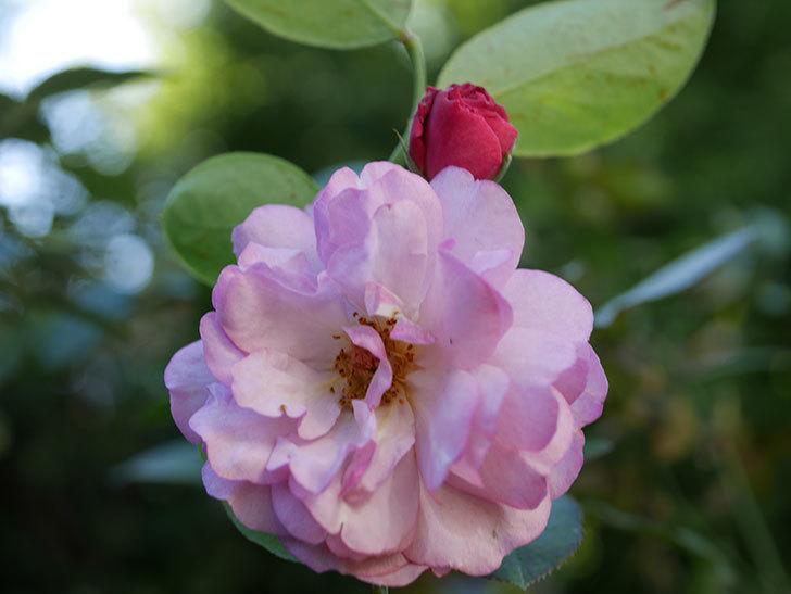 ラベンダーブーケ(Lavender Bouquet)の新苗に秋花が咲いた。半ツルバラ。2020年-004.jpg