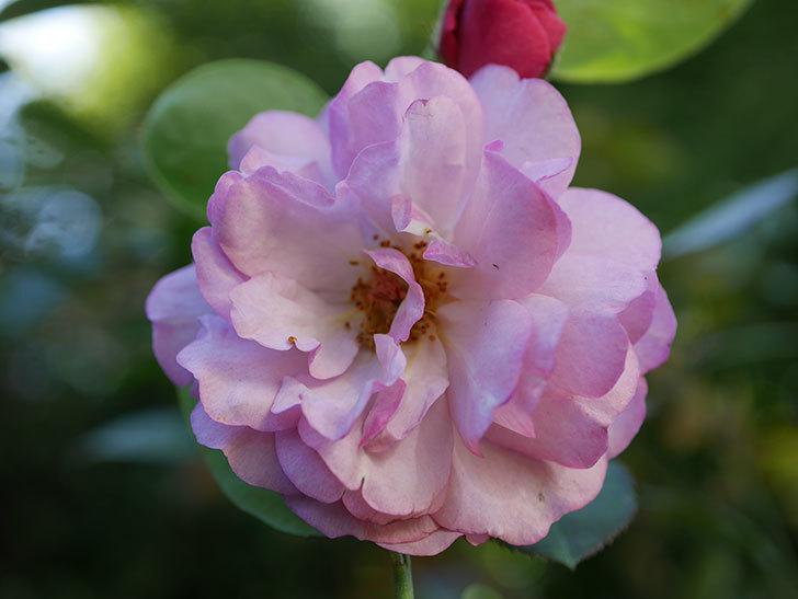 ラベンダーブーケ(Lavender Bouquet)の新苗に秋花が咲いた。半ツルバラ。2020年-005.jpg