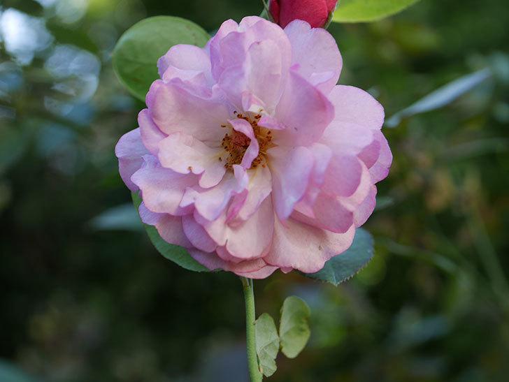 ラベンダーブーケ(Lavender Bouquet)の新苗に秋花が咲いた。半ツルバラ。2020年-007.jpg