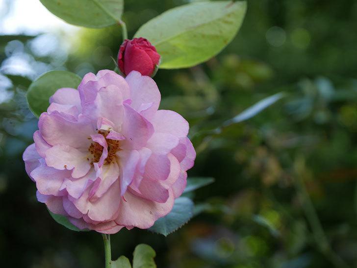 ラベンダーブーケ(Lavender Bouquet)の新苗に秋花が咲いた。半ツルバラ。2020年-008.jpg