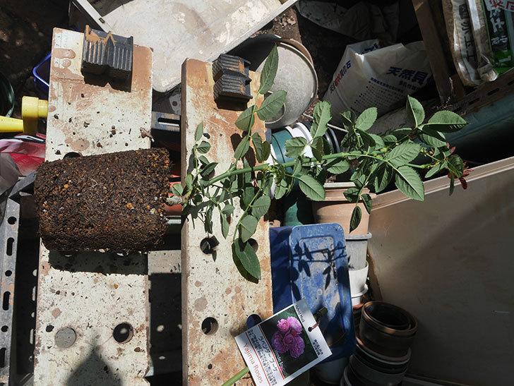 ラベンダーブーケ(Lavender Bouquet)の新苗を6号ロングスリット鉢に植え換え。2020年-001.jpg