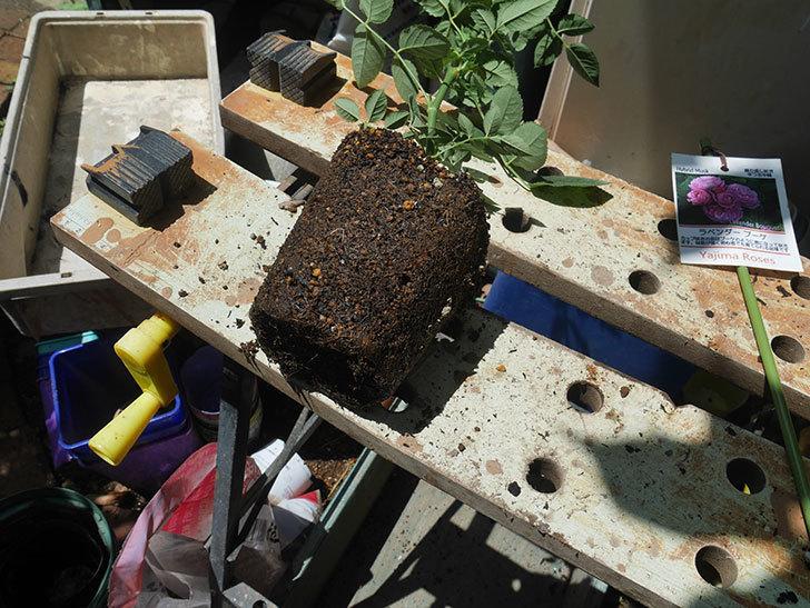 ラベンダーブーケ(Lavender Bouquet)の新苗を6号ロングスリット鉢に植え換え。2020年-002.jpg