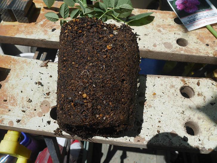ラベンダーブーケ(Lavender Bouquet)の新苗を6号ロングスリット鉢に植え換え。2020年-003.jpg