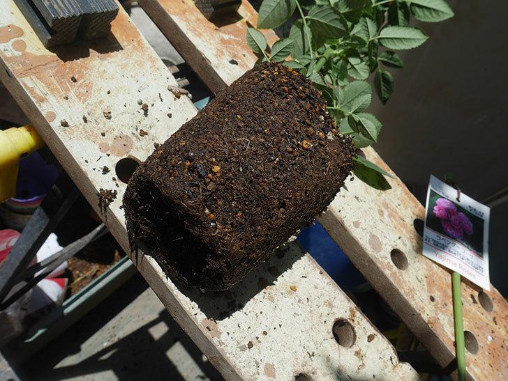 ラベンダーブーケ(Lavender Bouquet)の新苗を6号ロングスリット鉢に植え換え。2020年-004.jpg