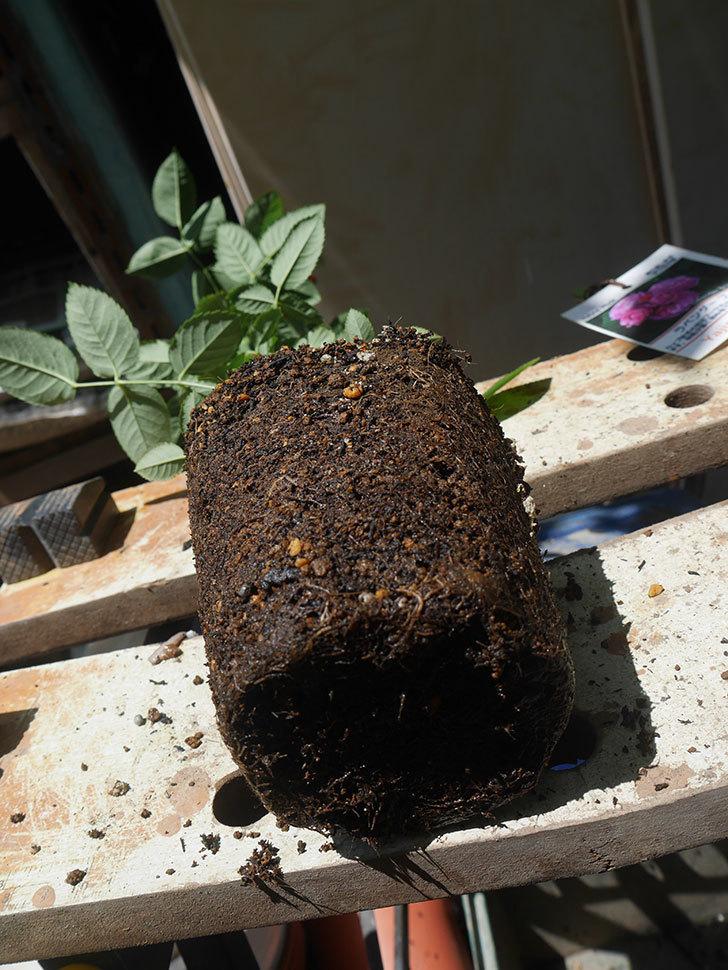 ラベンダーブーケ(Lavender Bouquet)の新苗を6号ロングスリット鉢に植え換え。2020年-005.jpg