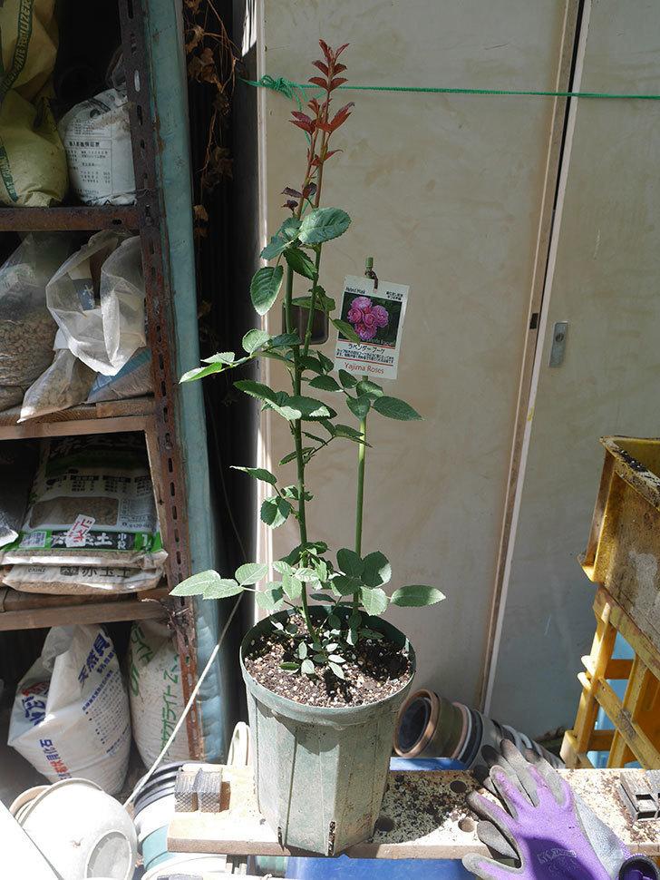 ラベンダーブーケ(Lavender Bouquet)の新苗を6号ロングスリット鉢に植え換え。2020年-007.jpg