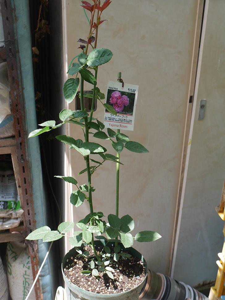 ラベンダーブーケ(Lavender Bouquet)の新苗を6号ロングスリット鉢に植え換え。2020年-008.jpg