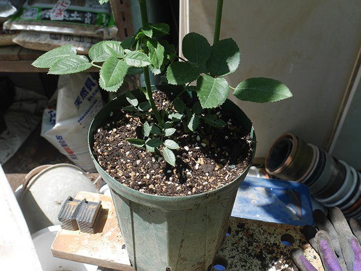 ラベンダーブーケ(Lavender Bouquet)の新苗を6号ロングスリット鉢に植え換え。2020年-009.jpg