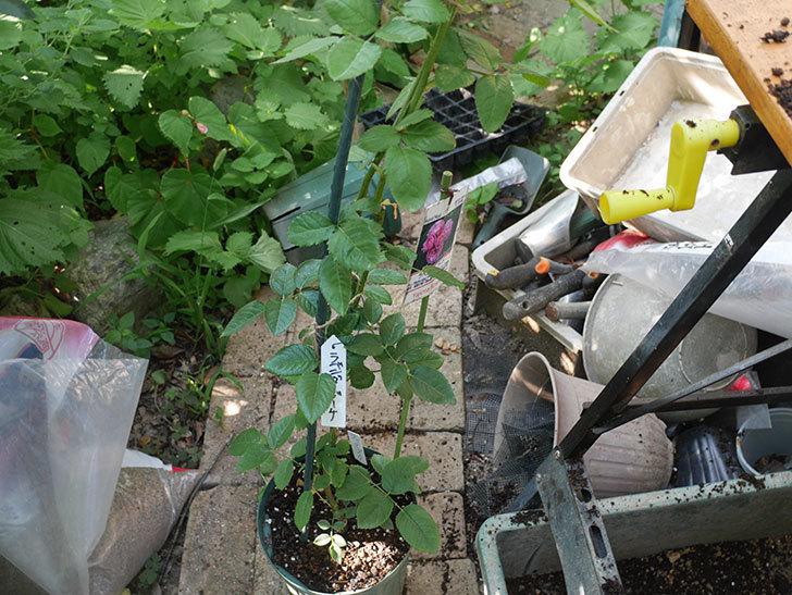 ラベンダーブーケ(Lavender Bouquet)の新苗を根はり鉢 10号に植え換えた。半ツルバラ。2020年-001.jpg