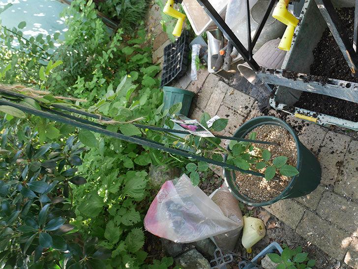 ラベンダーブーケ(Lavender Bouquet)の新苗を根はり鉢 10号に植え換えた。半ツルバラ。2020年-005.jpg