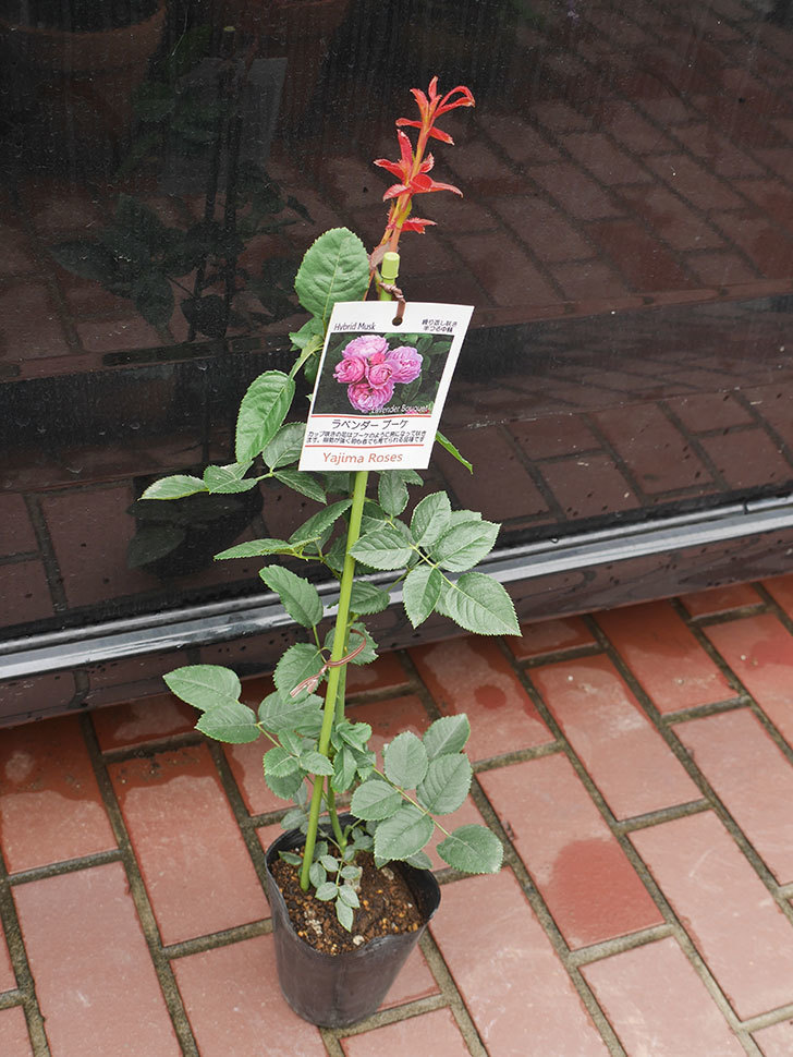 ラベンダーブーケ(Lavender Bouquet)の新苗を楽天のバラの家で買った。半ツルバラ。2020年-001.jpg