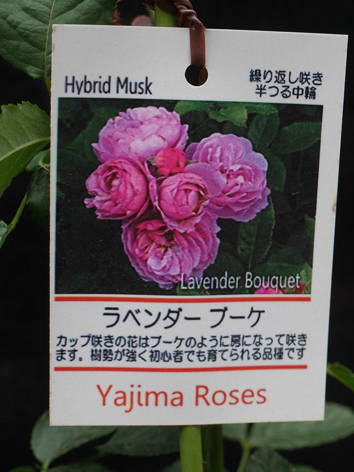 ラベンダーブーケ(Lavender Bouquet)の新苗を楽天のバラの家で買った。半ツルバラ。2020年-002.jpg