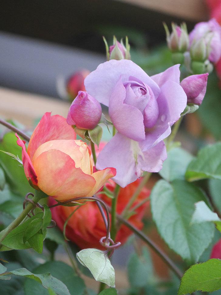 ラベンダーブーケ(Lavender Bouquet)の花が少し咲いた。半ツルバラ。2021年-014.jpg