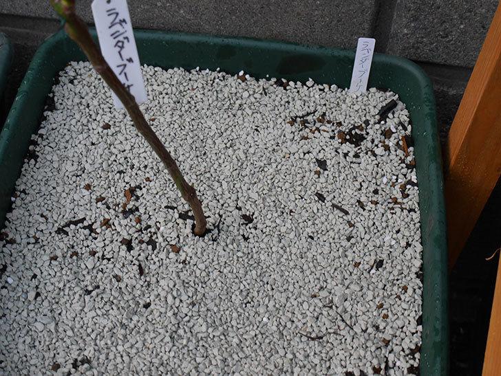 ラベンダーブーケ(Lavender Bouquet)を植え替えて誘引した。半ツルバラ。2021年-008.jpg