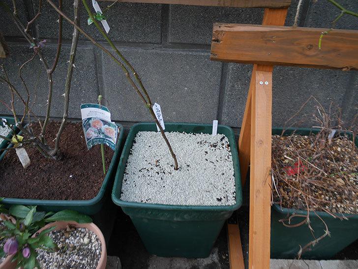 ラベンダーブーケ(Lavender Bouquet)を植え替えて誘引した。半ツルバラ。2021年-009.jpg