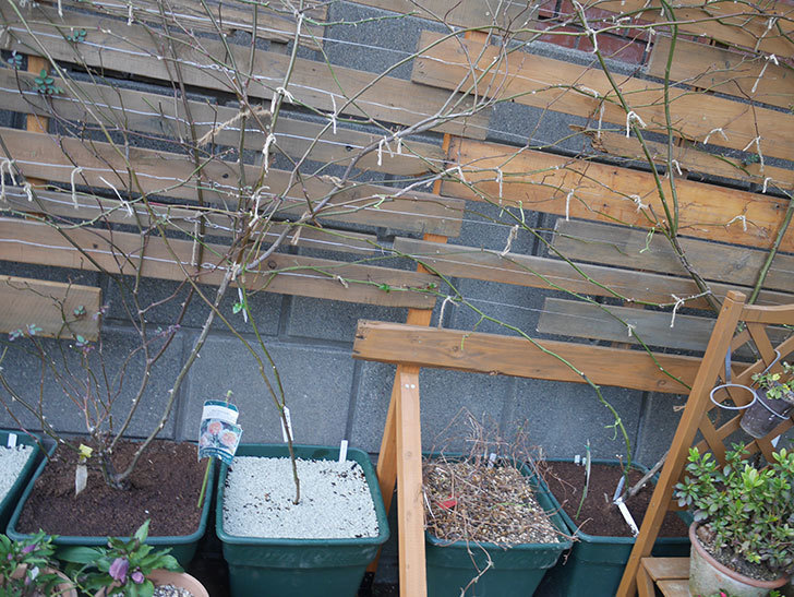 ラベンダーブーケ(Lavender Bouquet)を植え替えて誘引した。半ツルバラ。2021年-017.jpg