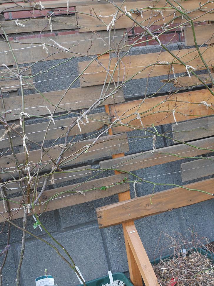 ラベンダーブーケ(Lavender Bouquet)を植え替えて誘引した。半ツルバラ。2021年-019.jpg