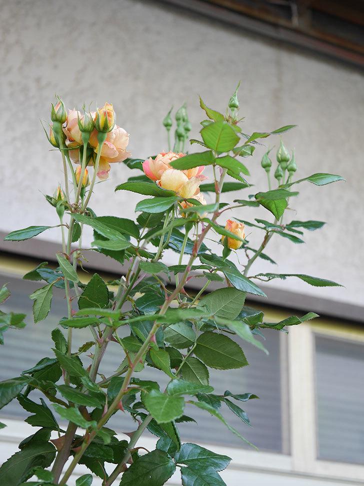 ランタン・シトロイユ(Lanterne Citrouille)の2番花がまた咲いた。半ツルバラ。2021年-001.jpg