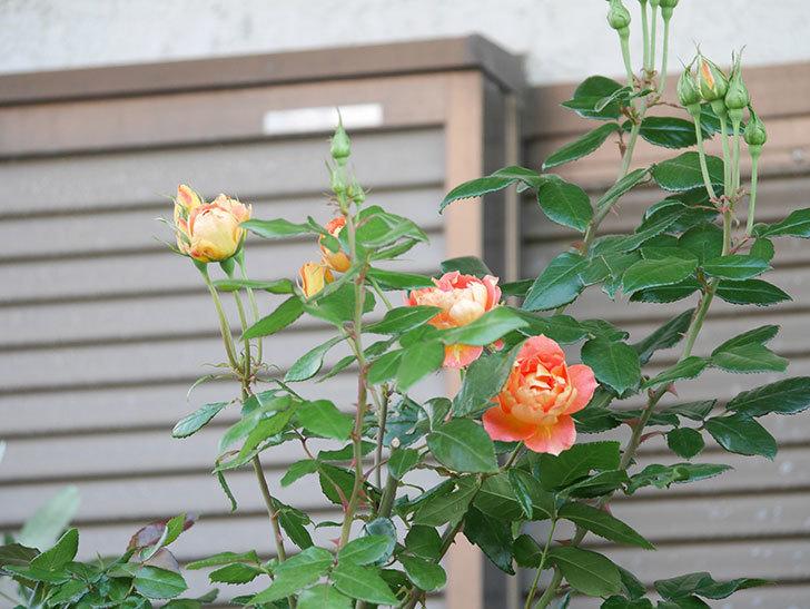ランタン・シトロイユ(Lanterne Citrouille)の2番花がまた咲いた。半ツルバラ。2021年-002.jpg