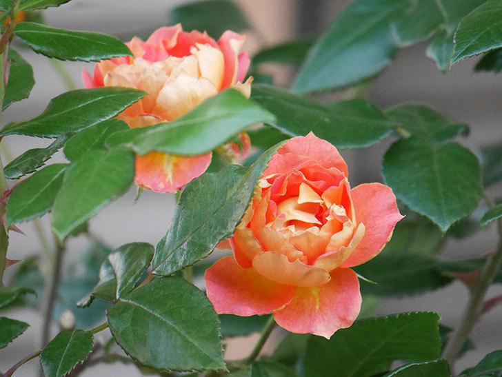 ランタン・シトロイユ(Lanterne Citrouille)の2番花がまた咲いた。半ツルバラ。2021年-003.jpg