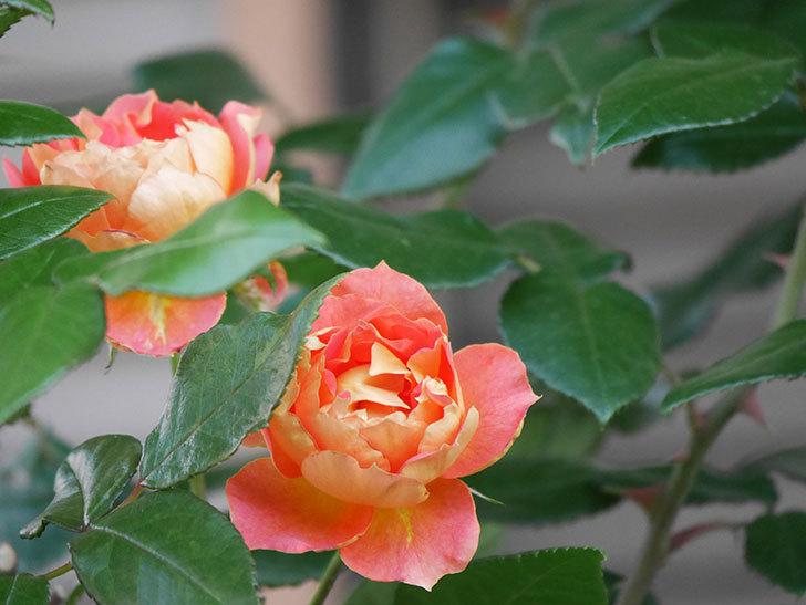ランタン・シトロイユ(Lanterne Citrouille)の2番花がまた咲いた。半ツルバラ。2021年-004.jpg