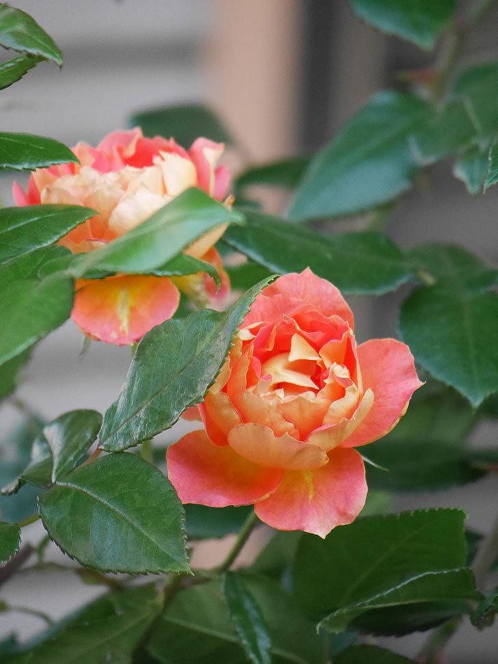 ランタン・シトロイユ(Lanterne Citrouille)の2番花がまた咲いた。半ツルバラ。2021年-005.jpg