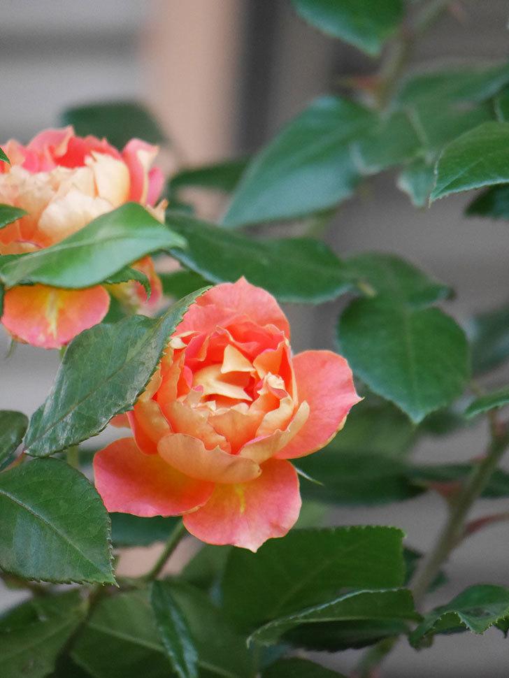 ランタン・シトロイユ(Lanterne Citrouille)の2番花がまた咲いた。半ツルバラ。2021年-006.jpg