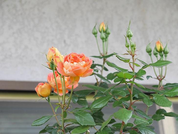 ランタン・シトロイユ(Lanterne Citrouille)の2番花がまた咲いた。半ツルバラ。2021年-007.jpg