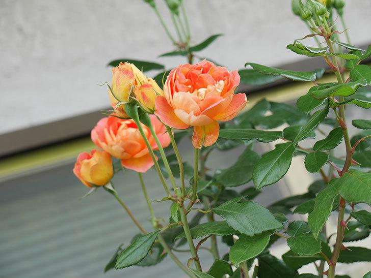 ランタン・シトロイユ(Lanterne Citrouille)の2番花がまた咲いた。半ツルバラ。2021年-009.jpg