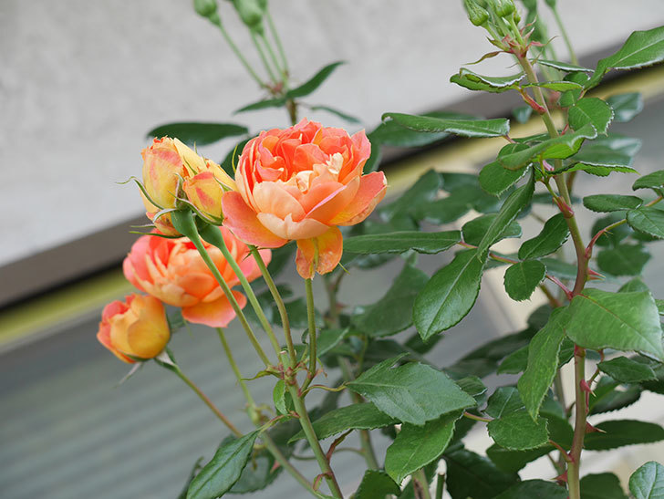 ランタン・シトロイユ(Lanterne Citrouille)の2番花がまた咲いた。半ツルバラ。2021年-010.jpg