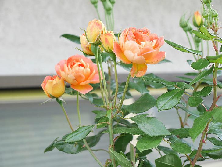 ランタン・シトロイユ(Lanterne Citrouille)の2番花がまた咲いた。半ツルバラ。2021年-011.jpg