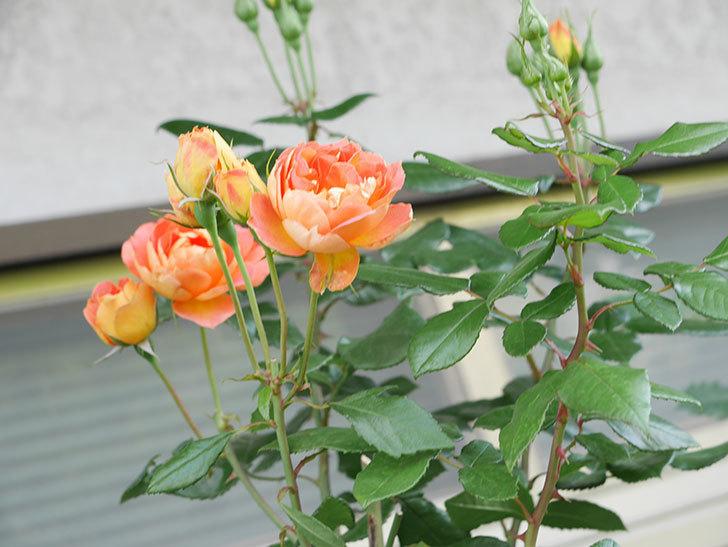 ランタン・シトロイユ(Lanterne Citrouille)の2番花がまた咲いた。半ツルバラ。2021年-012.jpg