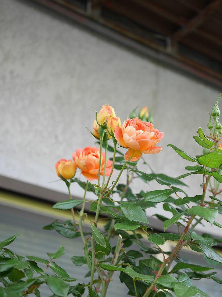 ランタン・シトロイユ(Lanterne Citrouille)の2番花がまた咲いた。半ツルバラ。2021年-013.jpg