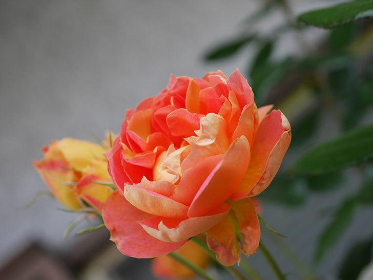 ランタン・シトロイユ(Lanterne Citrouille)の2番花がまた咲いた。半ツルバラ。2021年-014.jpg
